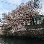 横浜の大岡川お花見クルージングへ行って来た【画像あり】