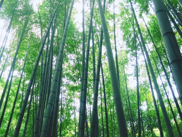 報国寺の竹林